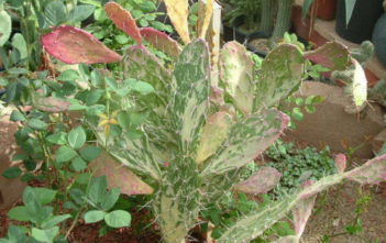 Opuntia monacantha f. variegata