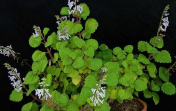 Plectranthus verticillatus (Swedish Ivy)