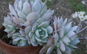 Sedeveria 'Blue Lotus'