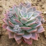 Sedeveria 'Blue Lotus'