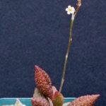 Adromischus marianiae 'Herrei' (Adromischus marianae f. herrei)