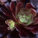 Aeonium 'Plum Purdy' (Plum Purdy Aeonium)