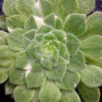 Aeonium tabuliforme f. variegata