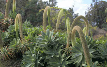 Agave Blooming (Agave attenuata)