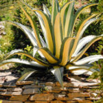Agave americana 'Mediopicta' (Yellow-striped Century Plant)