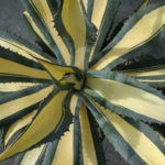 Agave americana 'Mediopicta' (Yellow-striped Century Plant)