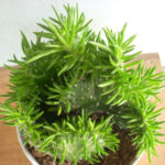 Austrocylindropuntia subulata f. cristata (Crested Eve's Needle)