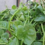 Basella alba (Malabar Spinach)