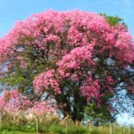 Ceiba speciosa (Silk Floss Tree)