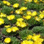 Delosperma congestum (Gold Nugget Ice Plant)