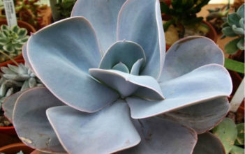 Echeveria 'Blue Dude'
