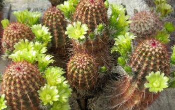 Echinocereus viridiflorus (Nylon Hedgehog Cactus)