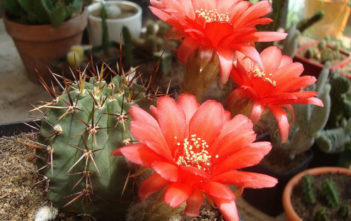 Echinopsis aurea var. dobeana (Red Easter Lily Cactus)
