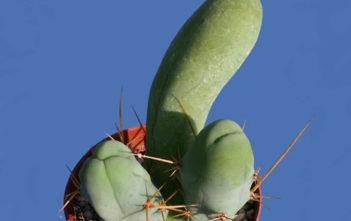 Echinopsis lageniformis f. monstruosa (Clone A)