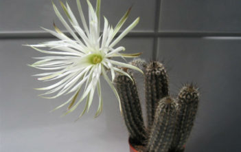 Echinopsis mirabilis (Flower of Prayer)