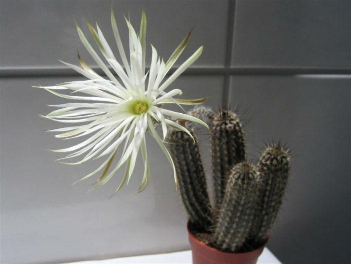 Echinopsis mirabilis (Flower of Prayer)