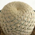 Euphorbia piscidermis (Fish Skin Euphorbia)