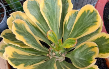 Euphorbia poissonii f. variegata