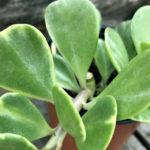 Kleinia petraea f. variegata (Variegated Trailing Jade)