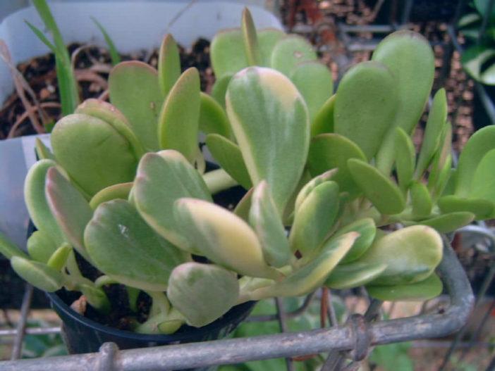 Kleinia petraea f. variegata (Variegated Trailing Jade) aka Senecio jacobseniif. variegata