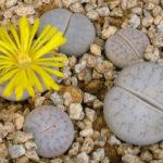 Lithops pseudotruncatella subsp. volkii