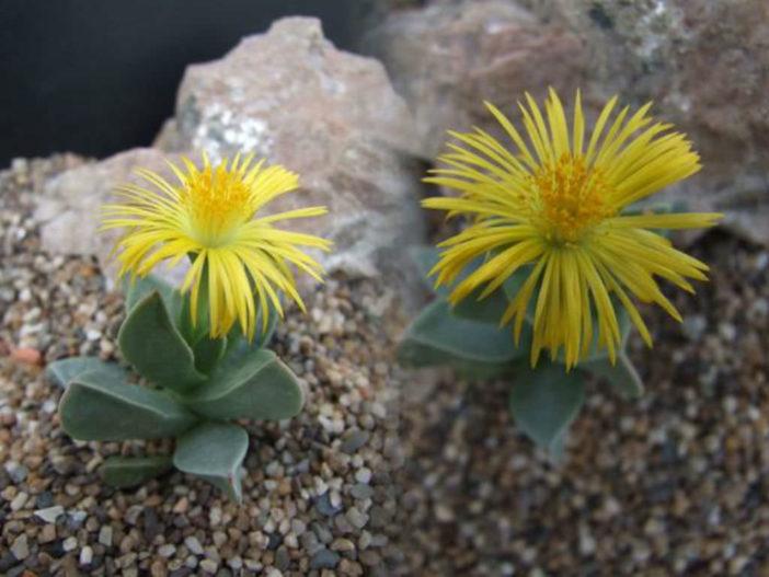 Machairophyllum brevifolium