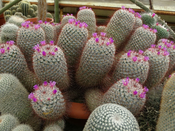 Mammillaria bombycina (Silken Pincushion Cactus)