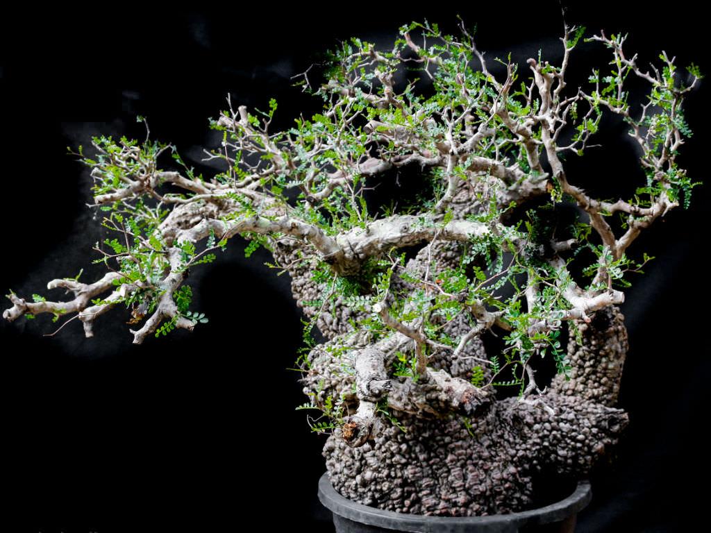 Operculicarya Pachypus World Of Succulents