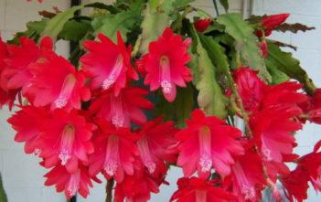 Red Orchid Cactus (Disocactus ackermannii)