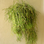 Rhipsalis teres (Quill-like Wickerware Cactus)