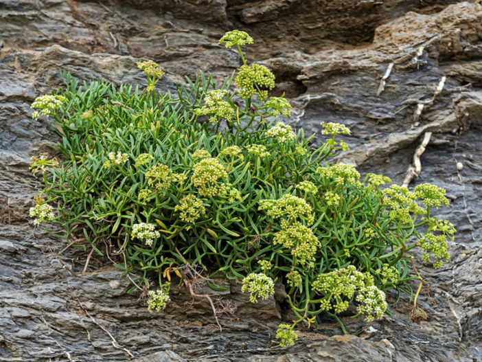 Grow and Care Rock Samphire (Crithmum maritimum)