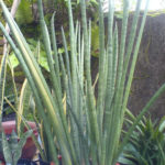 Sansevieria canaliculata (Snake Plant)