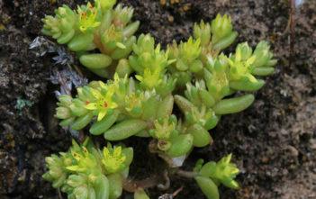 Sedum litoreum (Coastal Stonecrop)