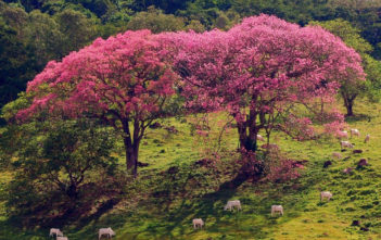 Silk Floss Tree (Ceiba speciosa)