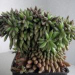 Sinocrassula yunnanensis f. cristata