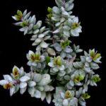 Adromischus montium-klinghardtii