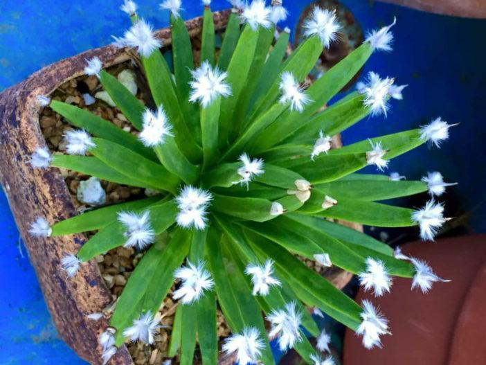 Agave albopilosa (White Hair Agave)