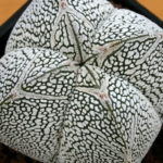 Astrophytum myriostigma 'Onzuka Quadricostatum'