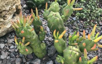 Austrocylindropuntia subulata 'Gumby'