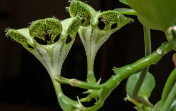 Ceropegia sandersonii (Parachute Plant)
