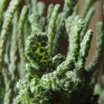 Crassula muscosa f. cristata