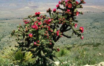 Cylindropuntia imbricata (Tree Cholla)