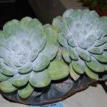 Dudleya pachyphytum (Cedros Island Liveforever)