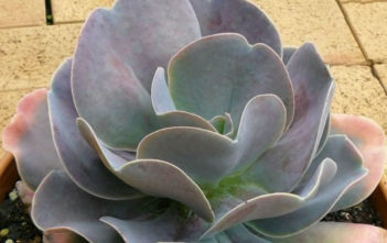 Echeveria 'Joy's Giant'