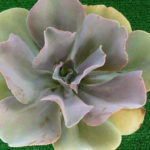 Echeveria 'Joy's Giant'