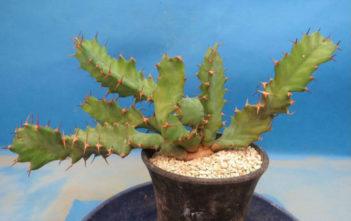 Euphorbia umfoloziensis