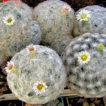 Mammillaria plumosa (Feather Cactus)