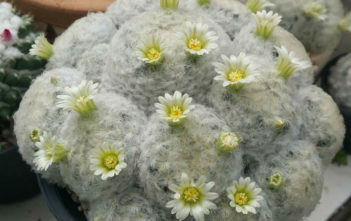Mammillaria plumosa (Feather Cactus)