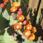 Opuntia tomentosa (Velvet Tree Pear)