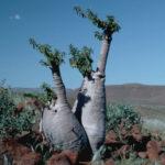 Pachypodium lealii (Bottle Tree)